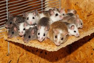 Myšky přibírají více, když jedí častěji.